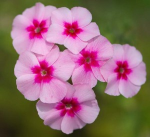 Image of Phlox