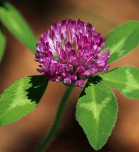 red-clover-flower-113867_1280