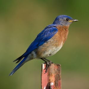 Image of a Eastern Bluebird