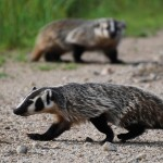 Image of an American Badgers (taxus subsp)