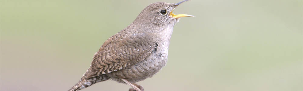 Image of a House Wren