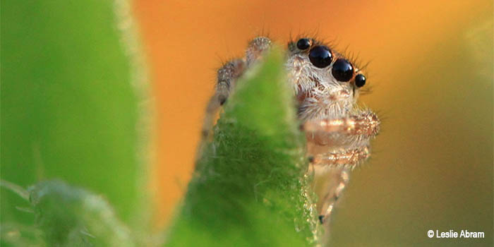 Image of a Jumping Spider