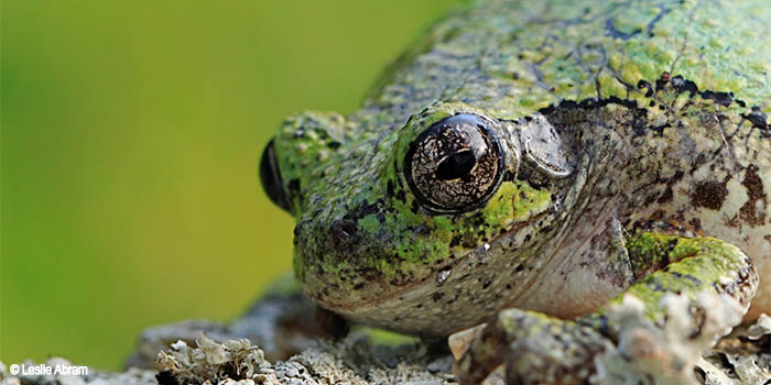 Image of a Grey Tree Frog