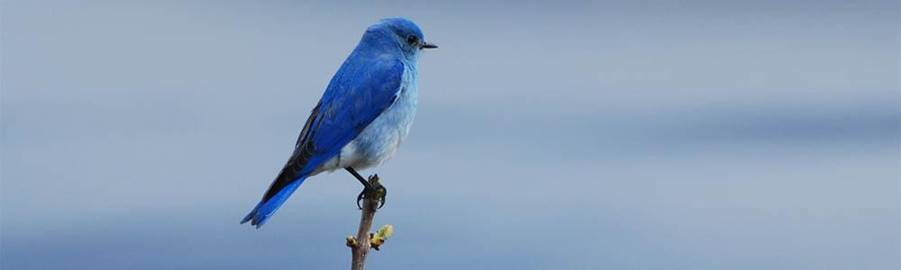 Image of a Mountain Bluebird