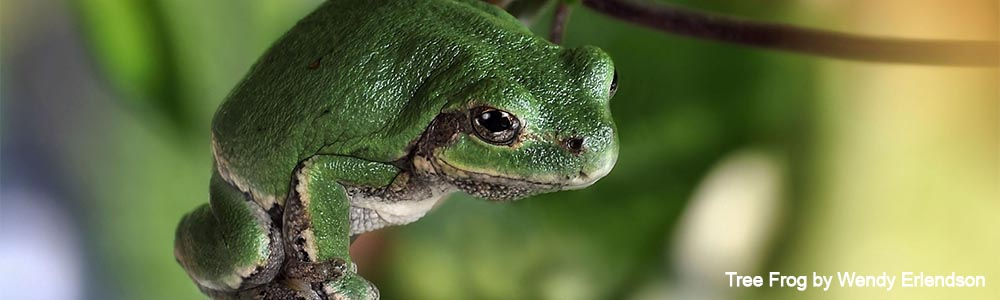 nature canada navigating tree frogs in your region