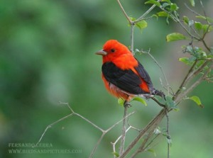 Image of a Male Scarlet Tanager