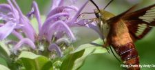 The Hummingbird Moth: One of Canada's coolest creatures