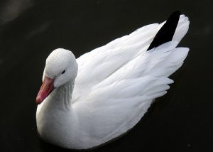 Image of a Lesser Snow Geese