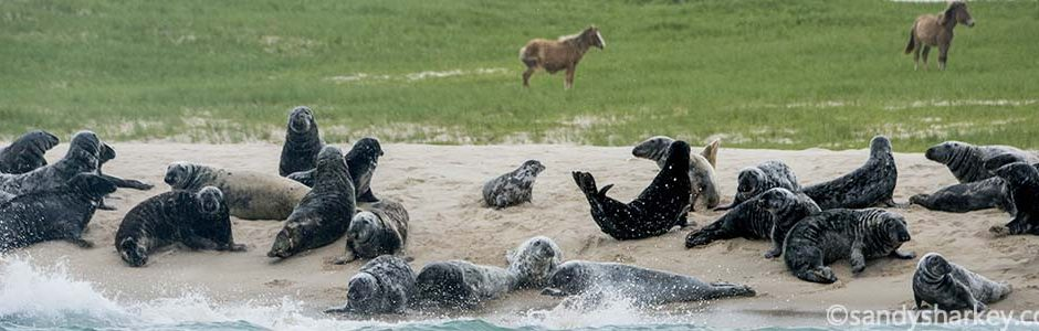 Seals and Horses by Sandy Sharkey