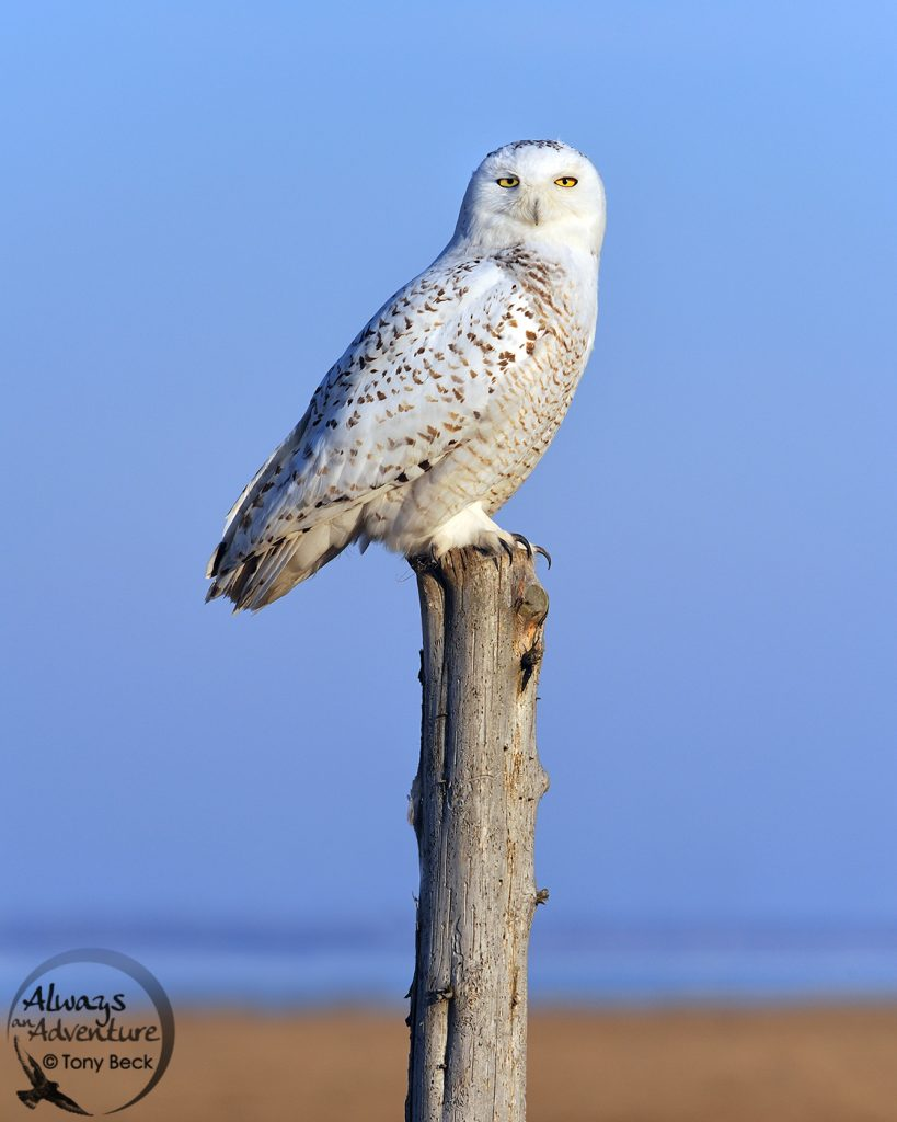 Image of a Snowy Owl on a post