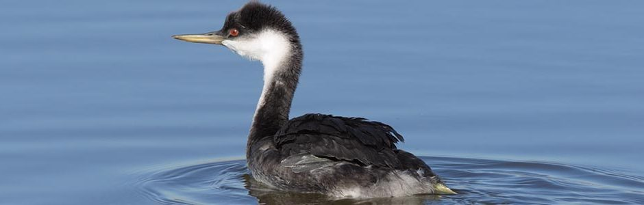 Image of a Western Grebe