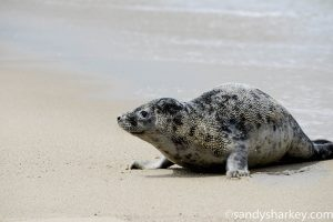 Image of a Grey Seal by Sandy Sharkey