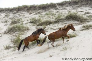 Image of horses on a sand dune