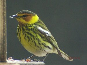 Image of a Cape May Warbler