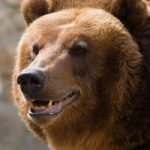 Image of a Grizzly Bear