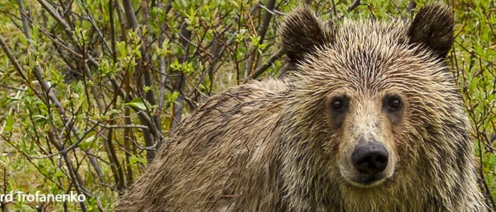 Grizzly by Howard Trofanenko