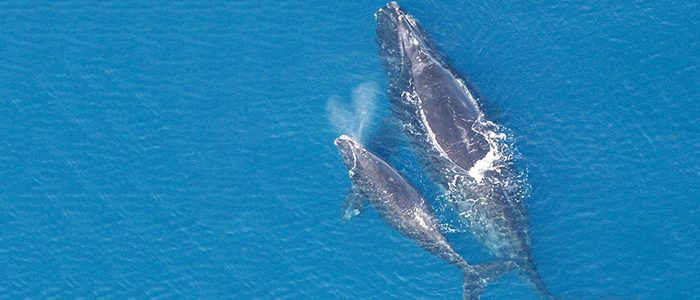 Image of a North Atlantic Right Whale