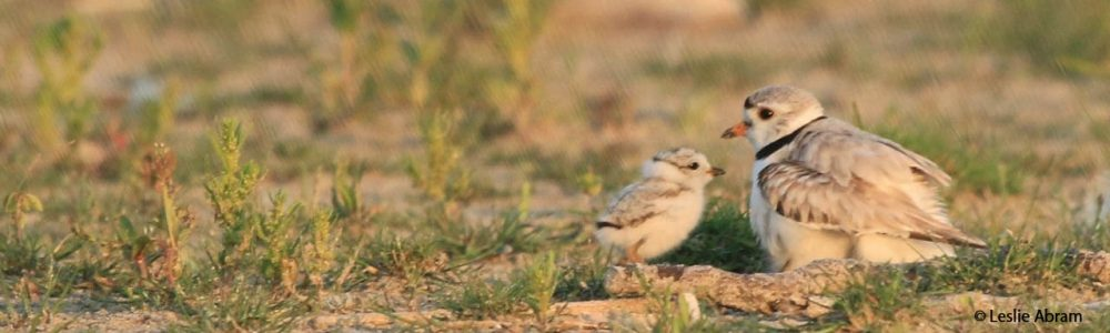 Image of piping plovers