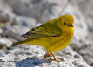 Image of a Yellow Warbler