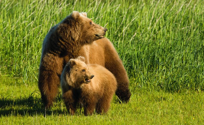 Image of a Grizzly female and cub