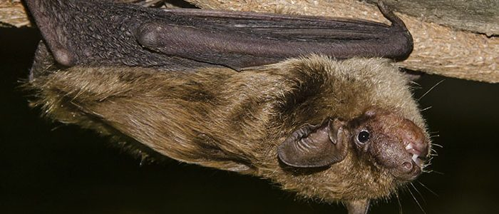 Image of a Big Brown Bat