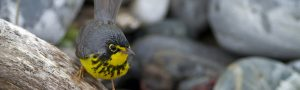 Image of a Canada Warbler