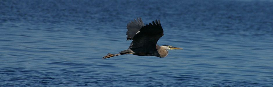 Image of a flying Great Blue Heron