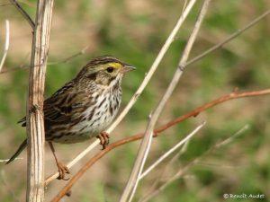 Image of a Savannah Sparrow