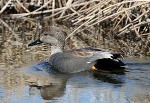 Image of a Gadwall