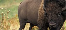 The American Bison