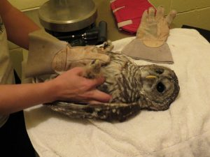 Barred Owl on Examining Table