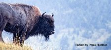 Get To Know Canada's Buffalo