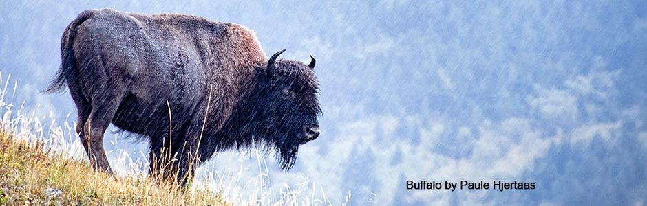 Buffalo by Paule Hjertaas