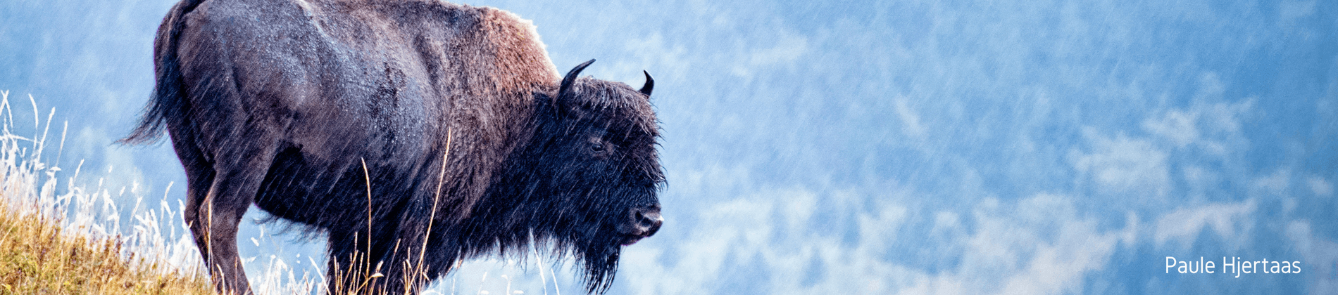 Image of a Buffalo