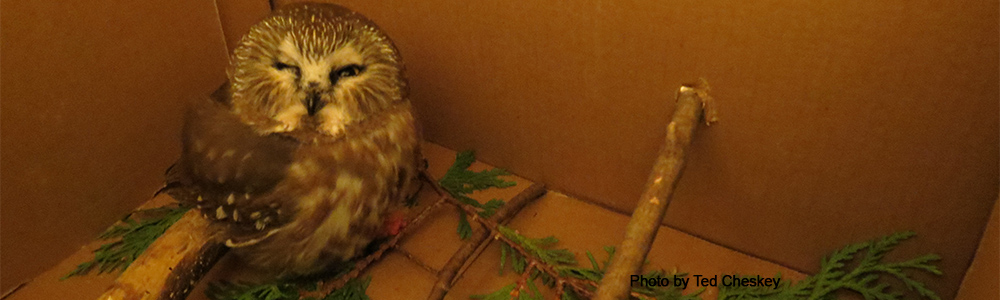 Image of a Saw-whet Owl