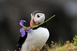 Image of a Atlantic Puffin by Chris MacDonald