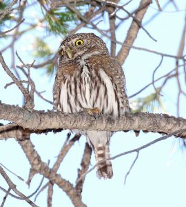 Image of a Northern Pygmy-Owl