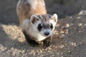 Image of a Black-footed Ferret
