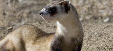 The Black-footed Ferret goes 'wild'