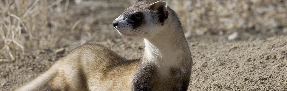 Nature Canada The Black Footed Ferret Goes Wild
