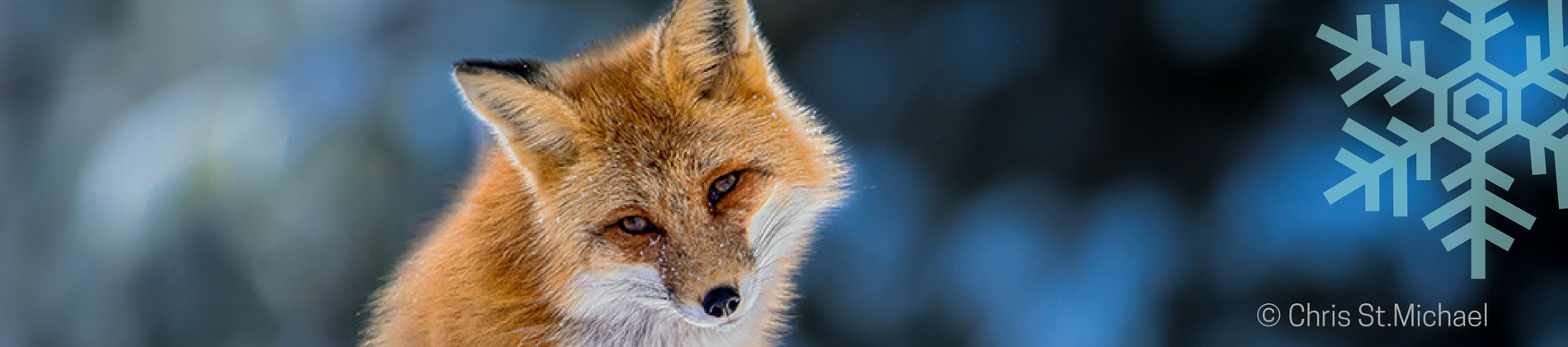 Image of Fox in snow