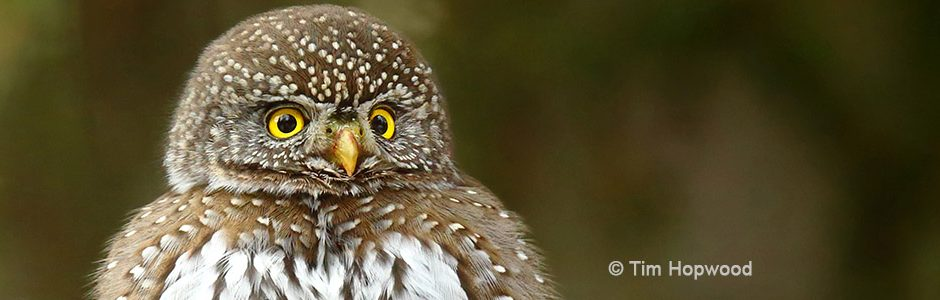 Image of a Northern Pygmy Owl by Tim Hopwood