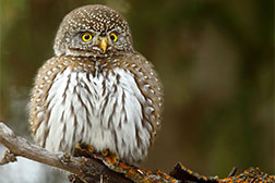 Image of a northern pygmy owl