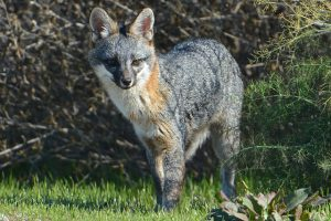 Image of a Gray Fox