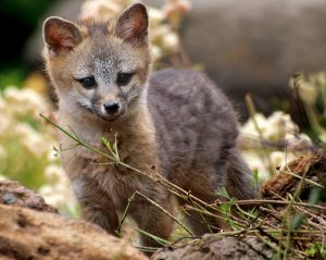Image of a Gray Fox Kit