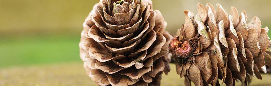 Image of pine cones