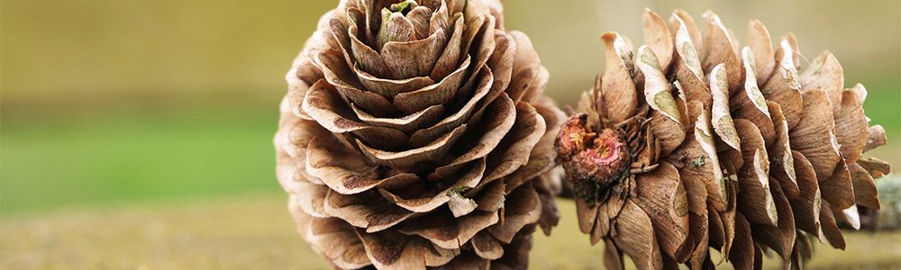 Pine cones: Nature's Gift to the Crafty