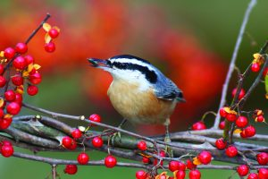 Image of Red Breasted Nuthatch