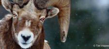 The Bighorn Sheep: Majestic and Memorable