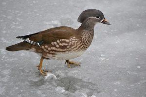 duck-ice
